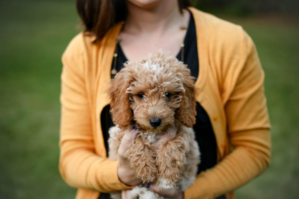 English Goldendoodle picture