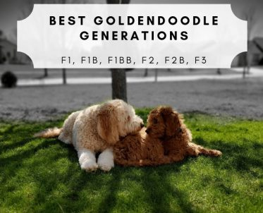 The Best Goldendoodle Generations Picture