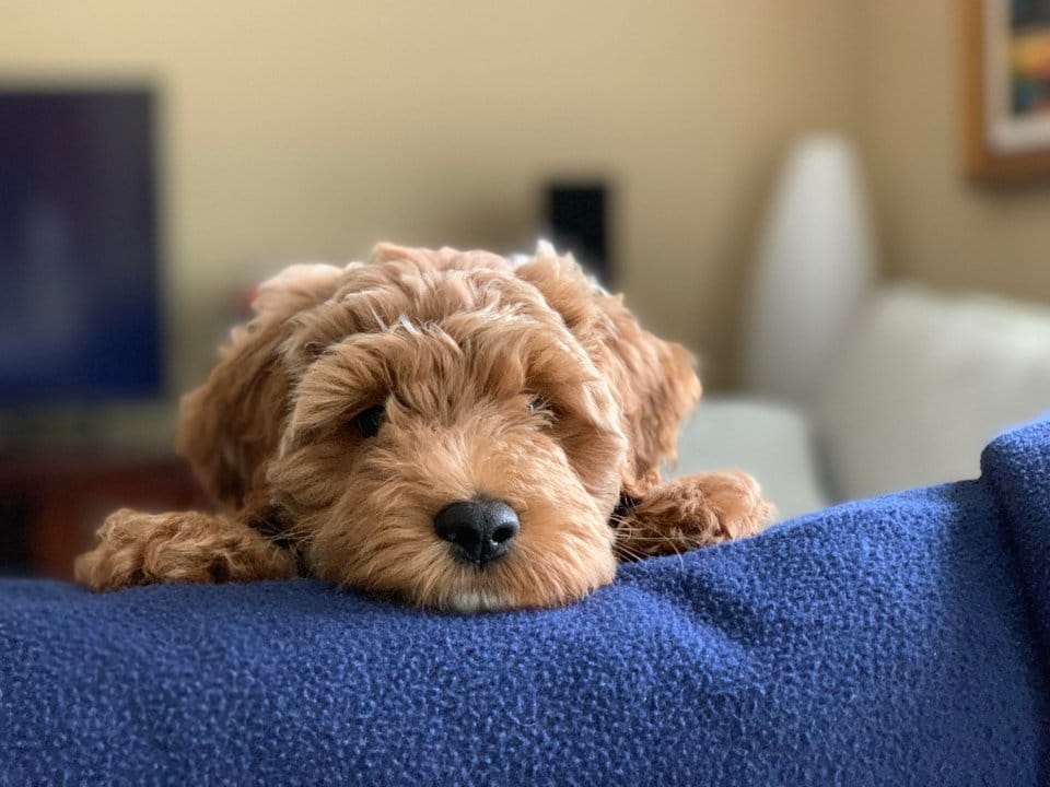 goldendoodle laying on couch