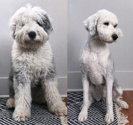 Goldendoodle poodle haircut