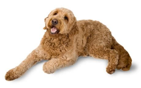 goldendoodle laying down