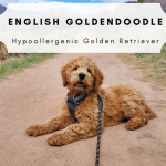 English Goldendoodle Featured Photo