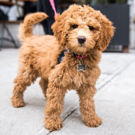 Teacup Goldendoodle