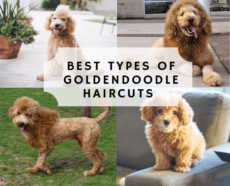 Best Types of Goldendoodle Haircuts