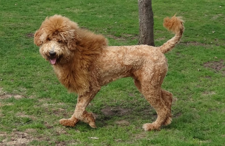 Goldendoodle Lion Cut