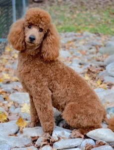 Goldendoodle Poodle haircut