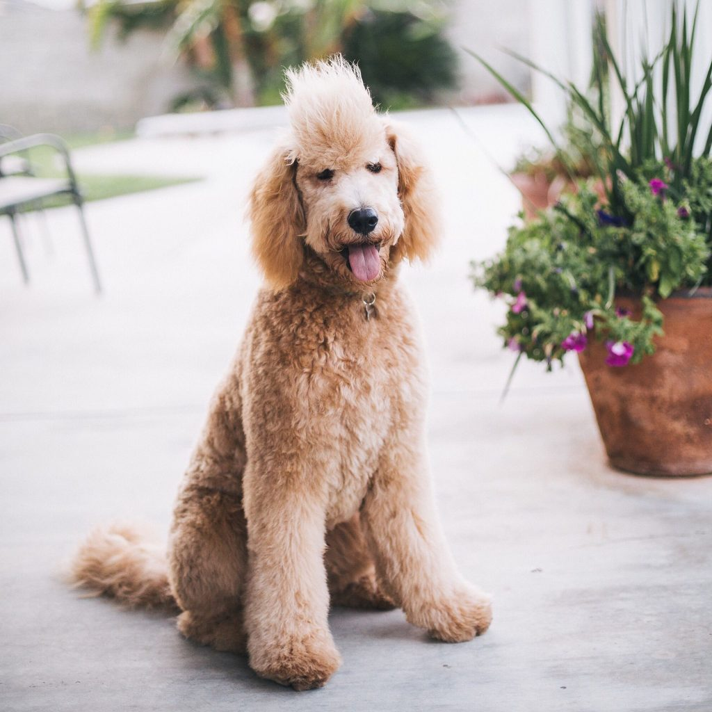 Best Types Of Goldendoodle Haircuts We Love Doodles