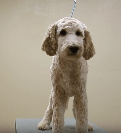 goldendoodle post shave