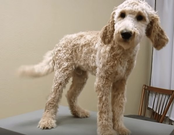 goldendoodle shaved
