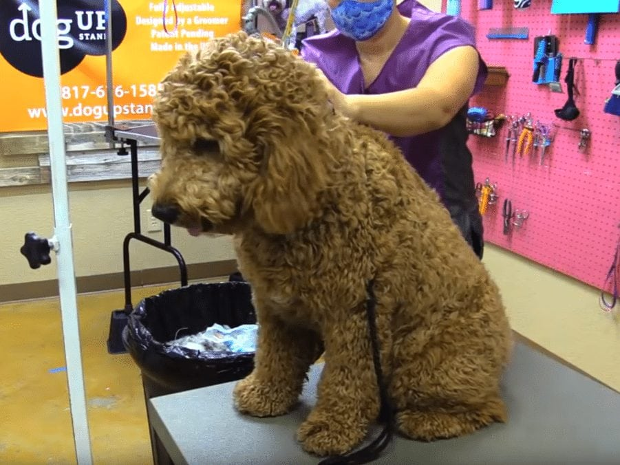 shaving a goldendoodle setting up