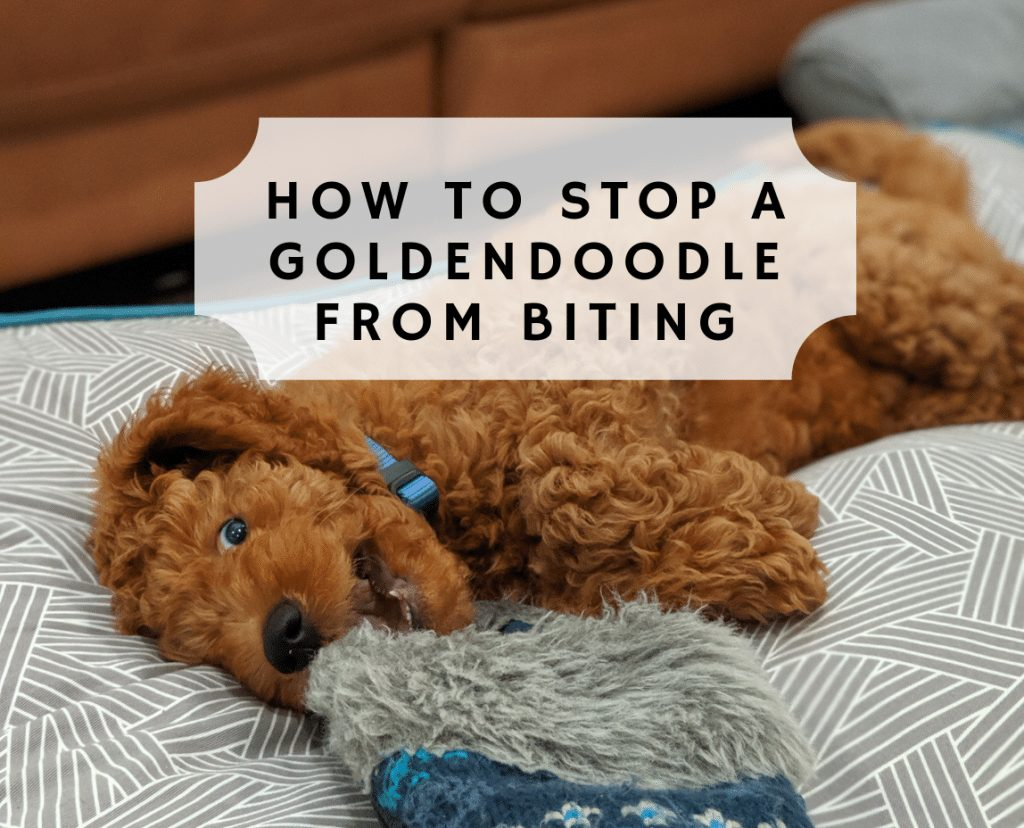 How to Stop a Goldendoodle from Biting