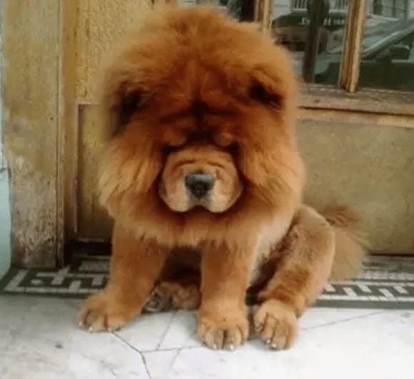 chow chow lion cut
