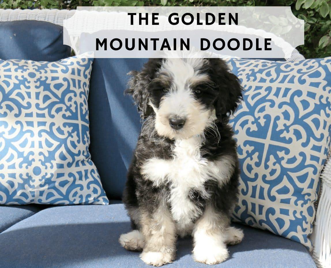 golden mountain doodle dog