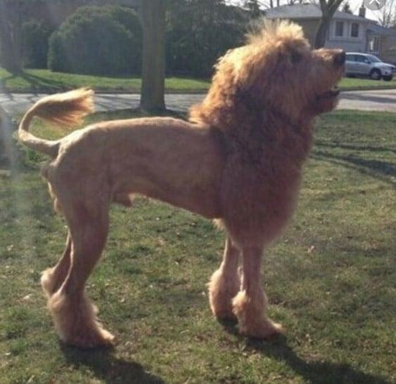 lion haircut doodle