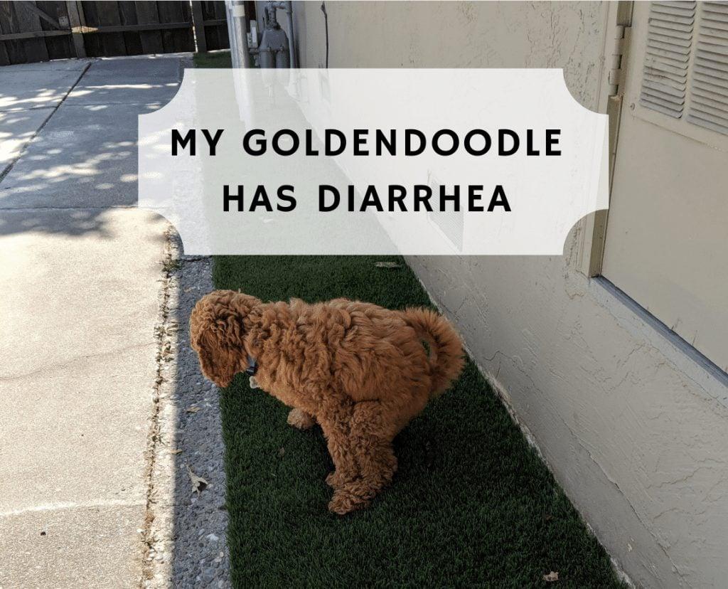 my-goldendoodle-has-diarrhea