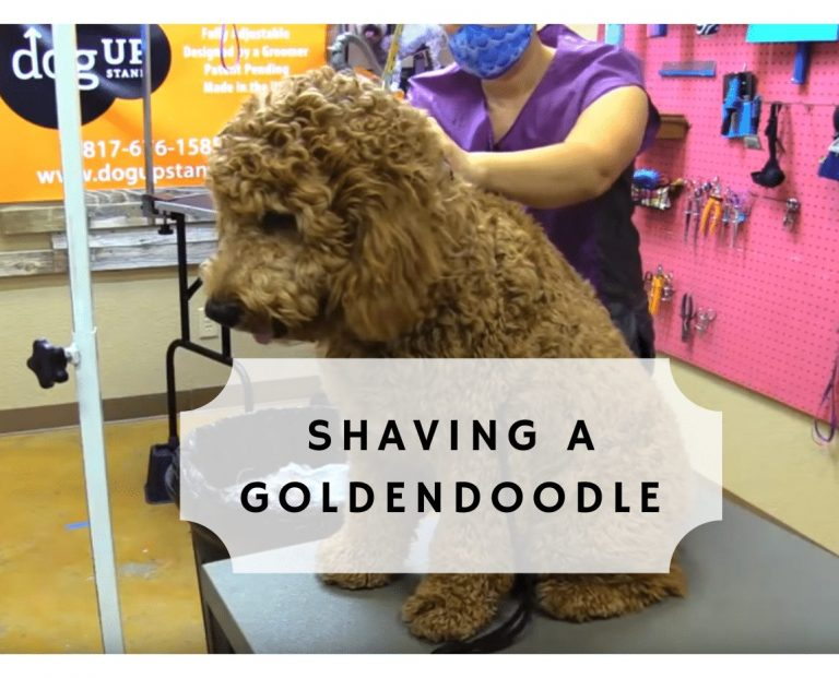 shaving a goldendoodle cover photo (2)