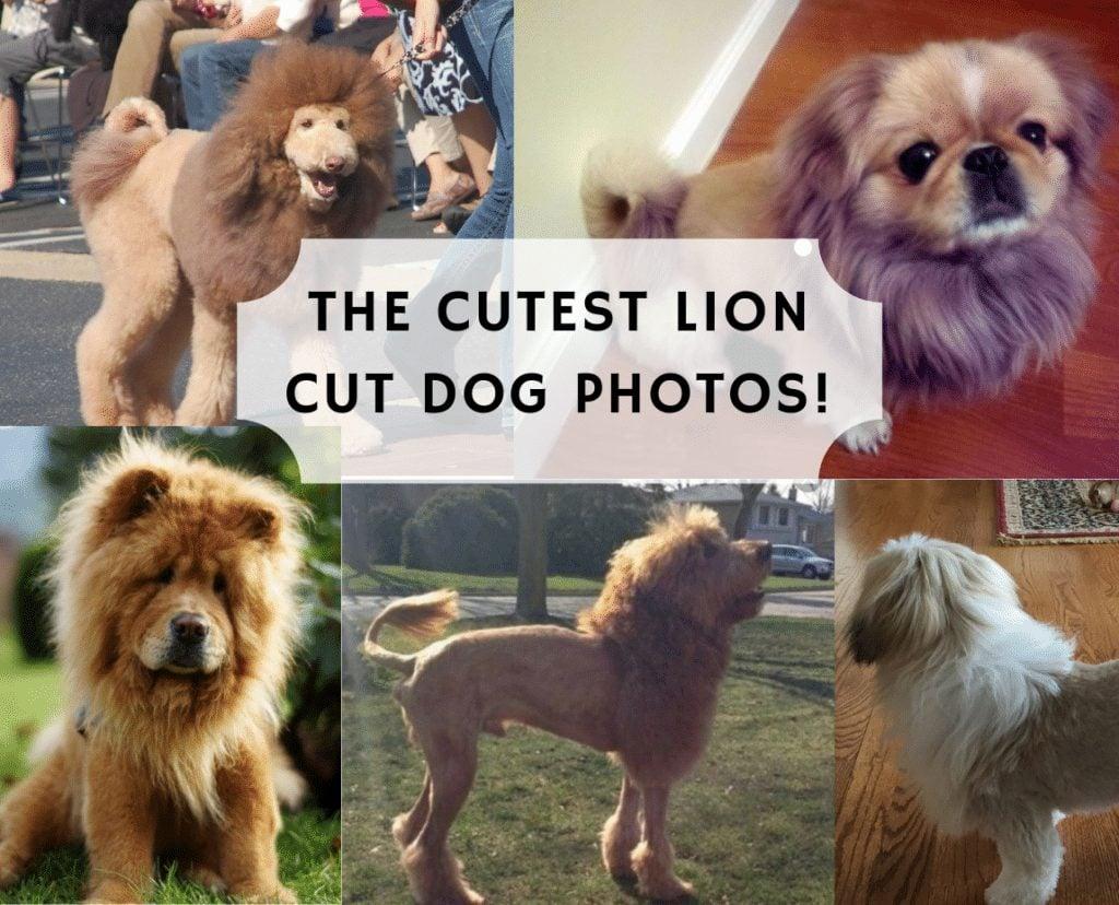 the cutest lion dog photos on the internet 1024x828 1