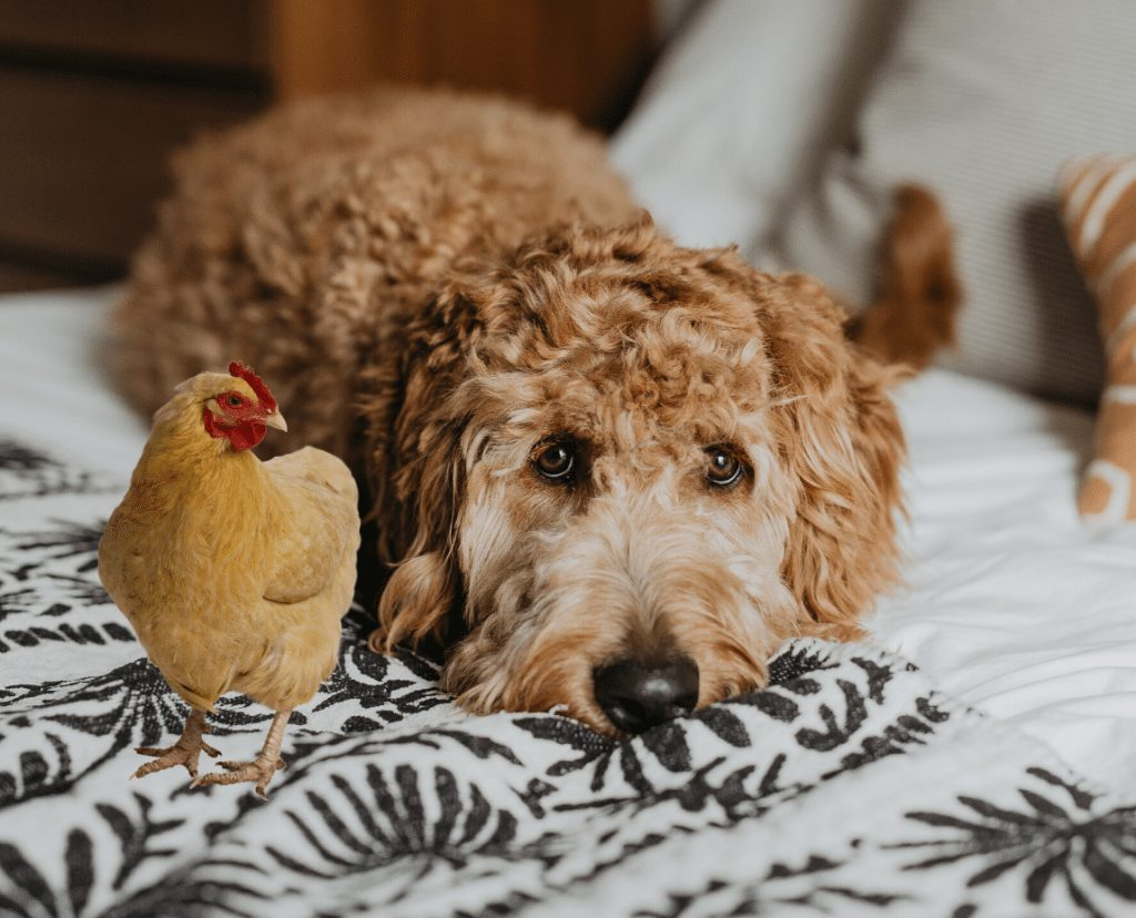 Symptoms of the Chicken Allergy in Dogs