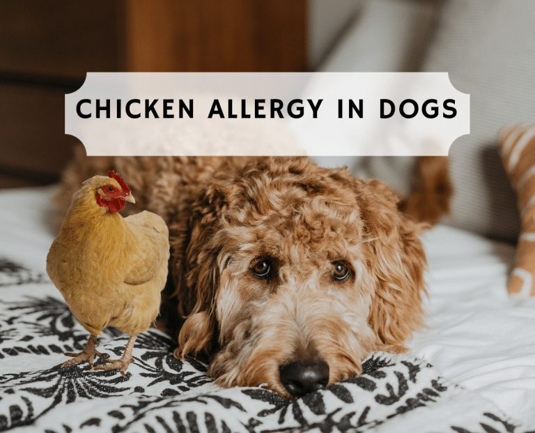 chicken allergy in dogs