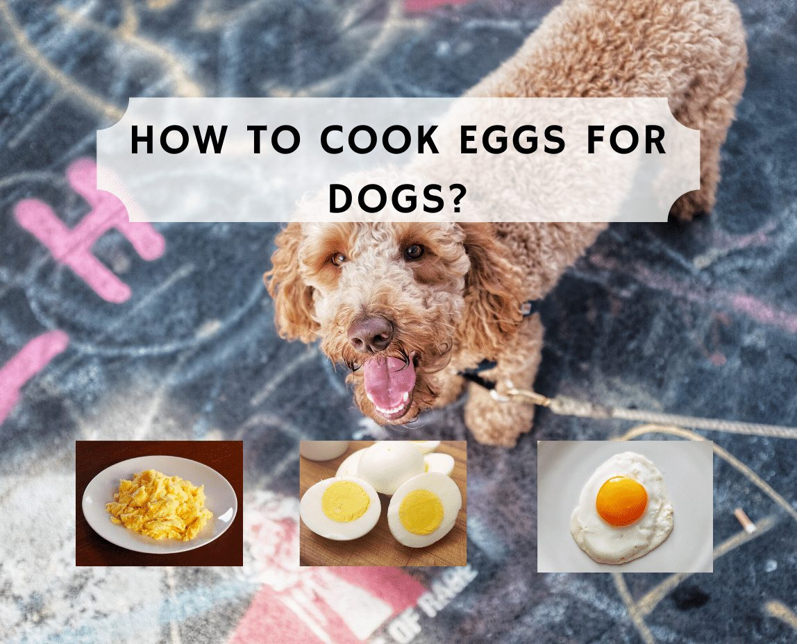 How to cook eggs for dogs? We Love Doodles