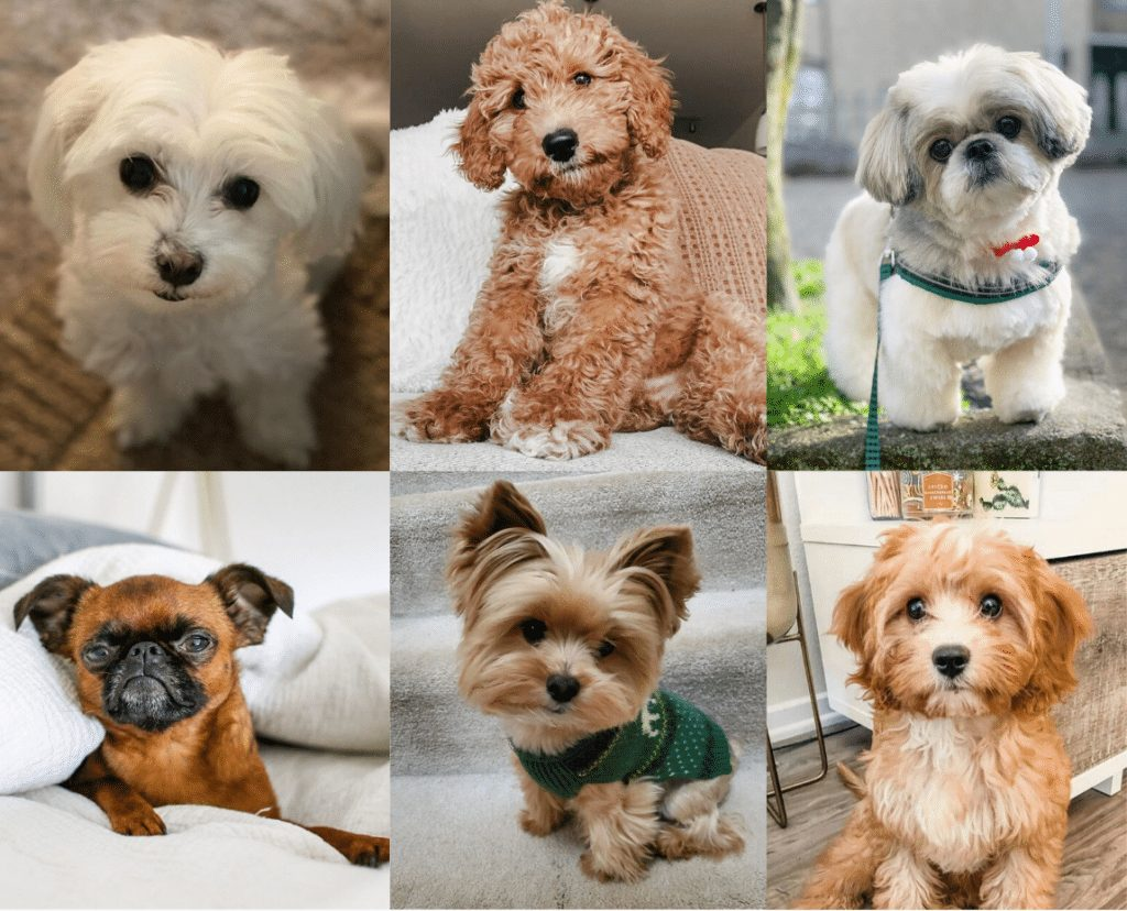 Low Energy Hypoallergenic Dog breeds