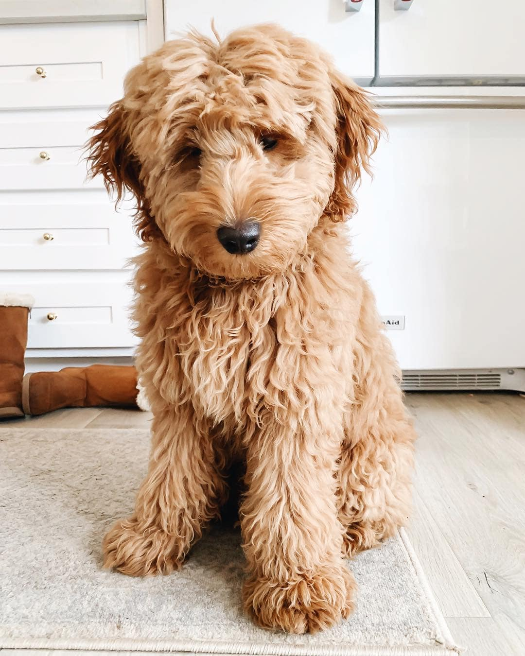 apricot goldendoodle picture