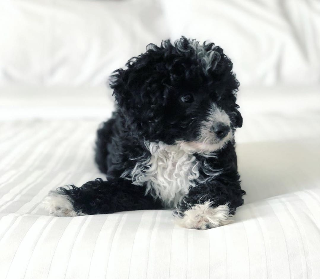 black and white goldendoodle picture