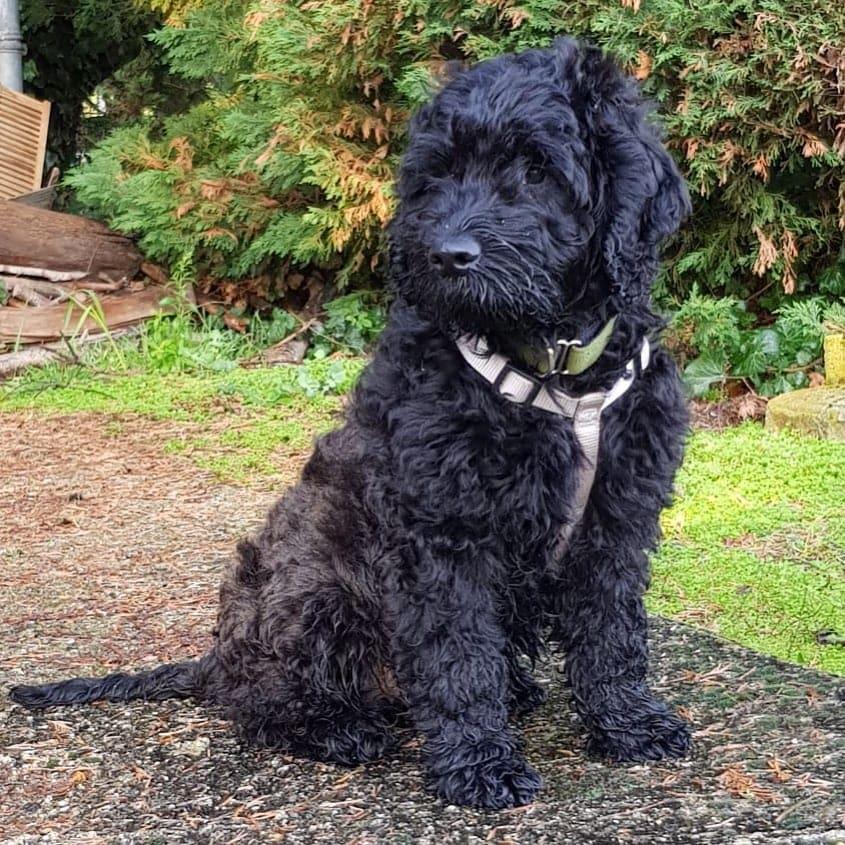 black goldendoodle picture