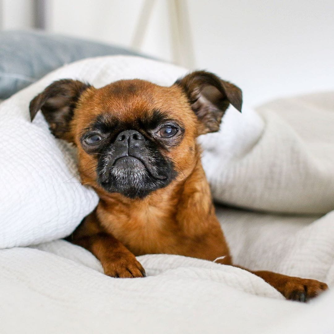 brussels griffon Low Energy Hypoallergenic Dogs