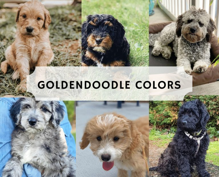 goldendoodle coat colors 768x621 1