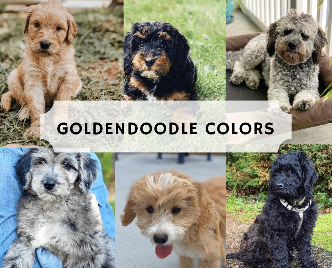 goldendoodle coat colors