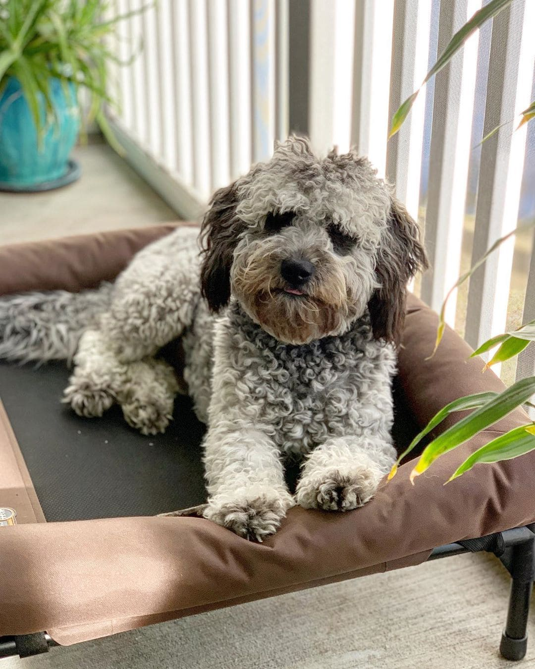 grey goldendoodle picture