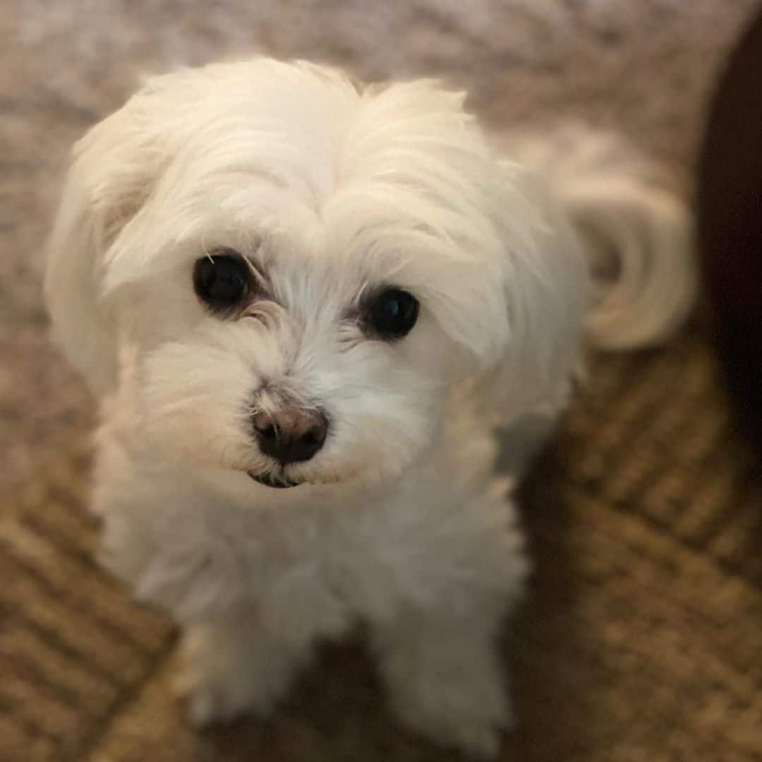 maltese terrier Low Energy Hypoallergenic Dog breed