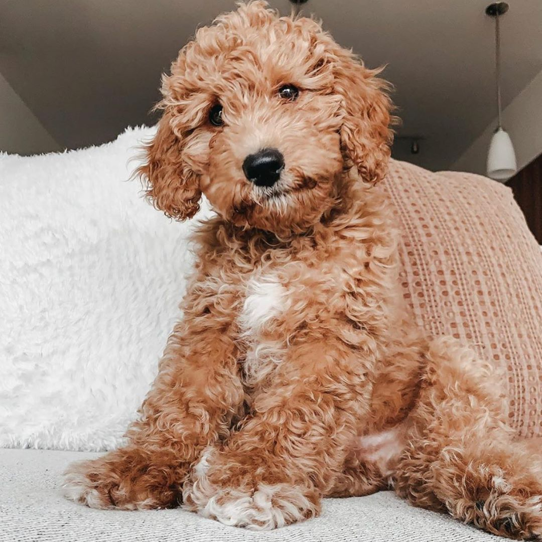 mini goldendoodle Low Energy Hypoallergenic Dog breed