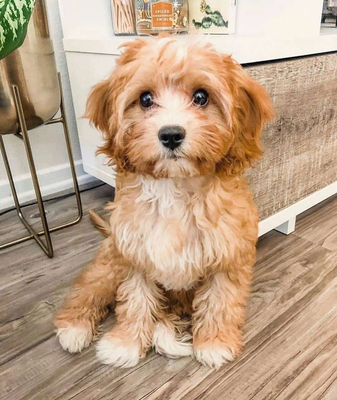 Top 7 Low Energy Hypoallergenic Dogs That Don't Shed