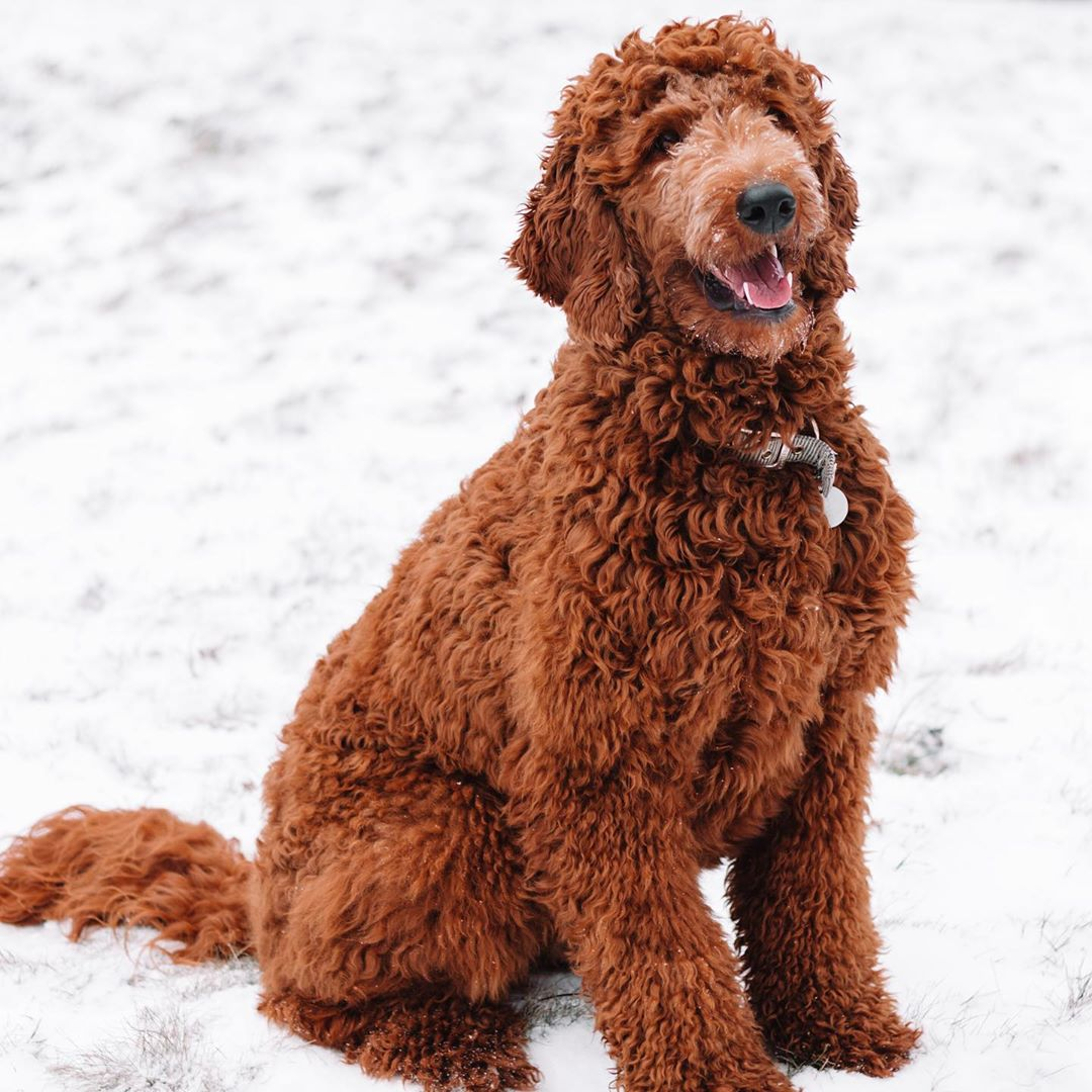 red goldendoodle picture