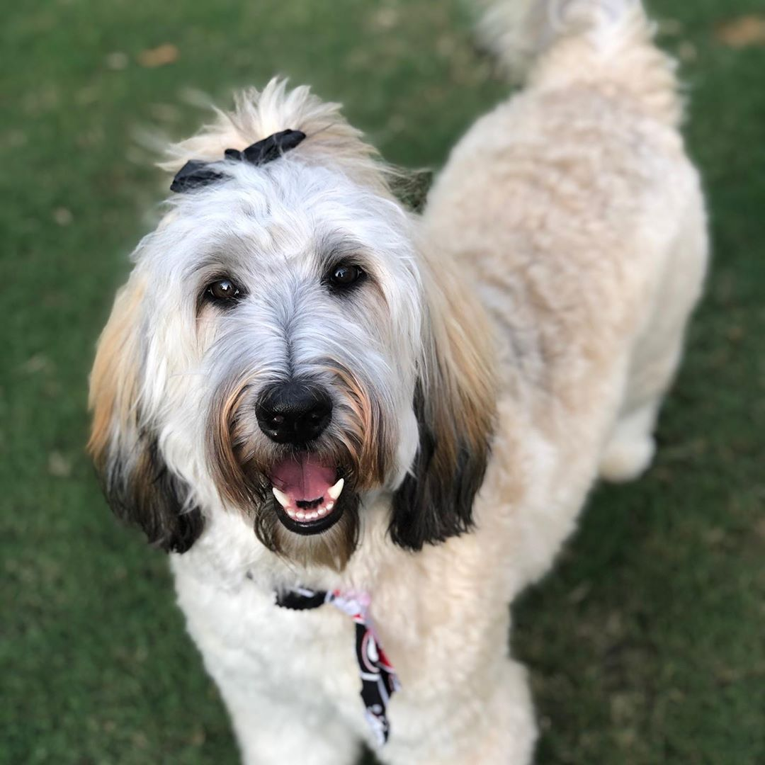Sable Goldendoodle picture