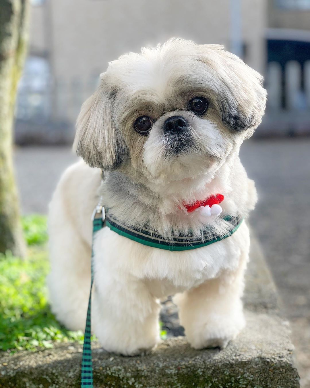 shih tzu Low Energy Hypoallergenic Dog breed