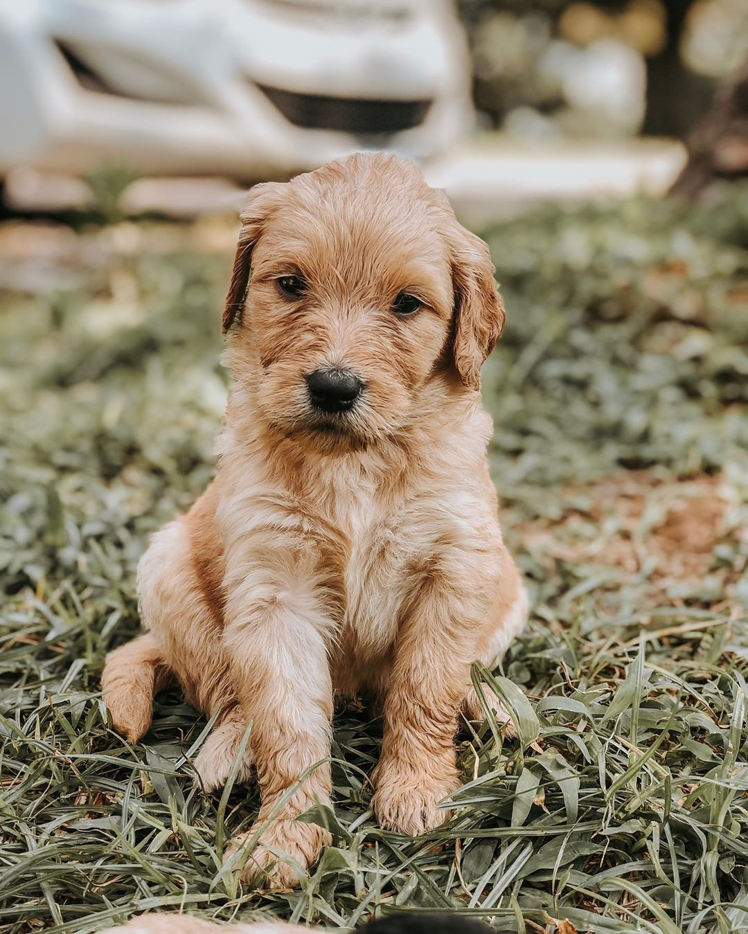 tan goldendoodle picture