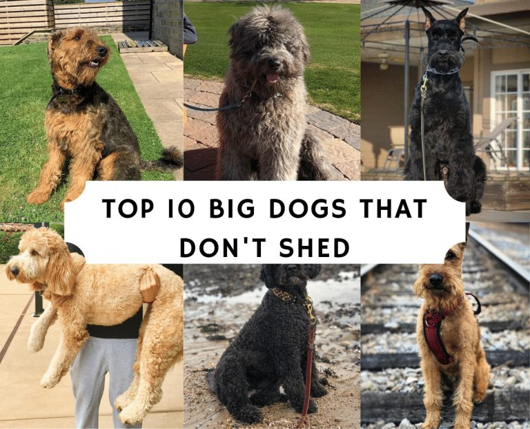 top 10 big dogs that don't shed