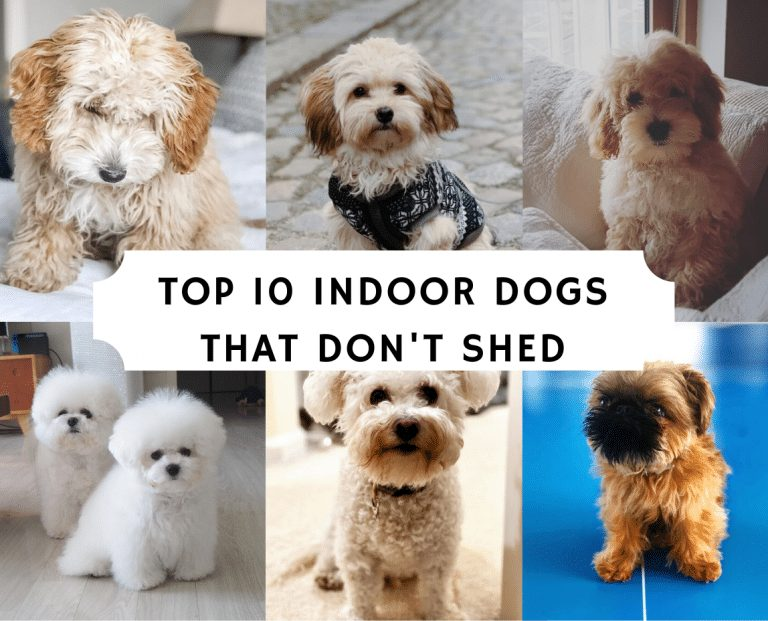 Top 10 Indoor Dogs that Don't Shed