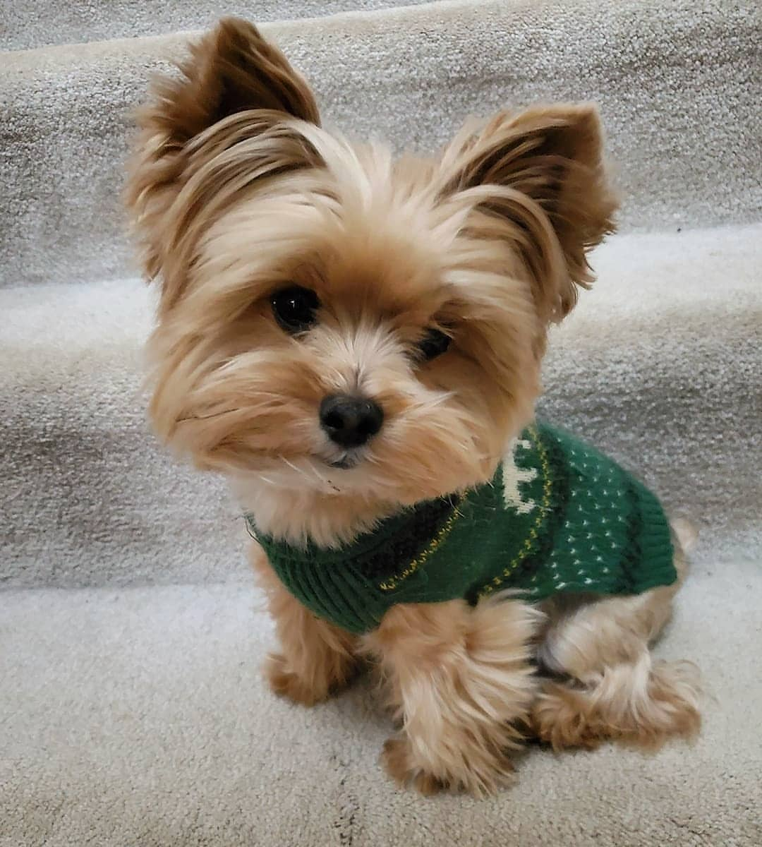 Top 7 Low Energy Hypoallergenic Dogs That Don&39;t Shed We ...