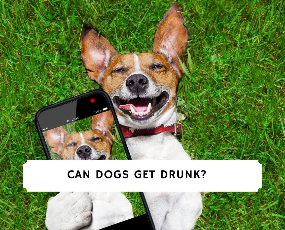 Can Dogs Get Drunk