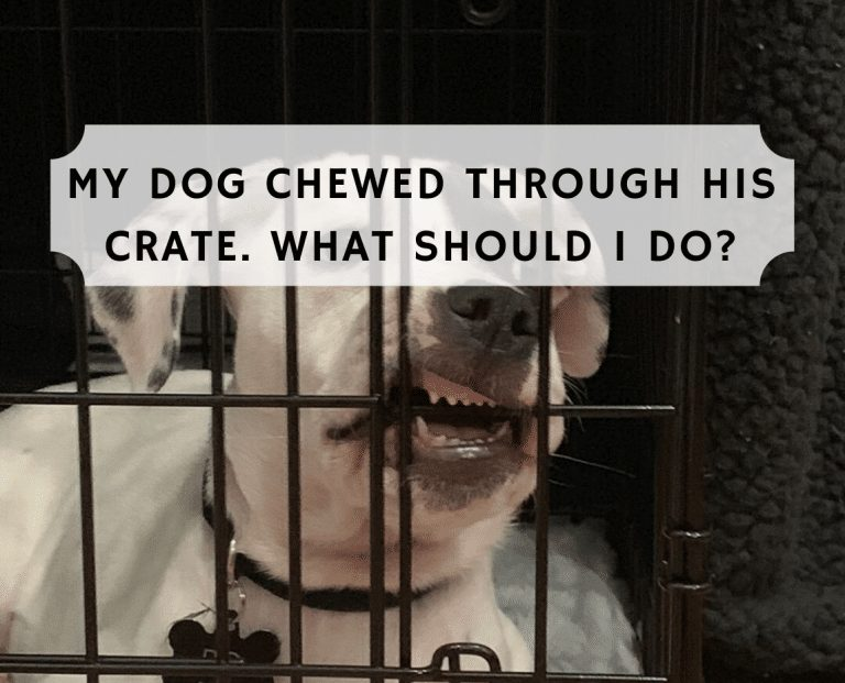 My dog chewed through his crate. What Should I do?