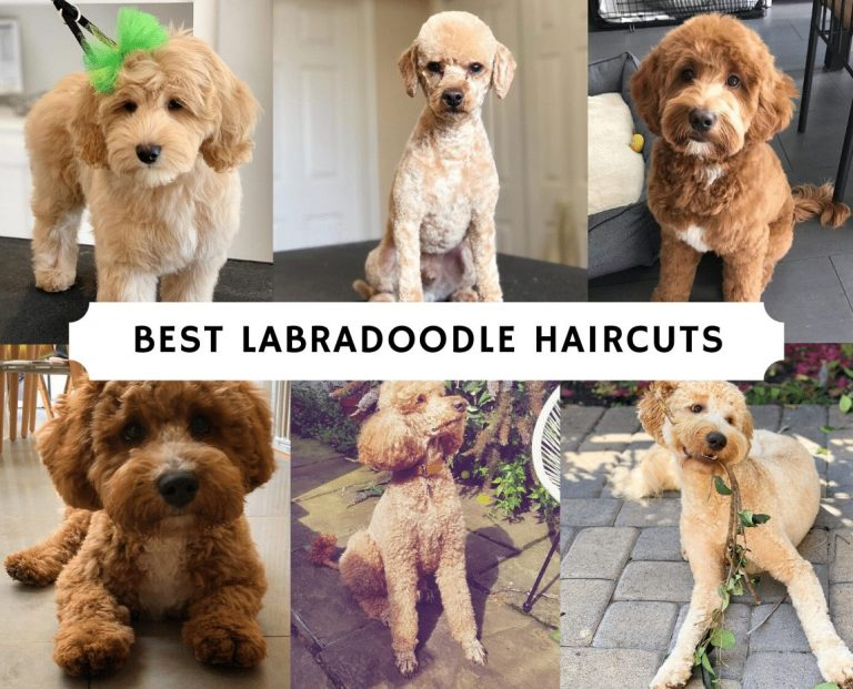Best Labradoodle Haircuts