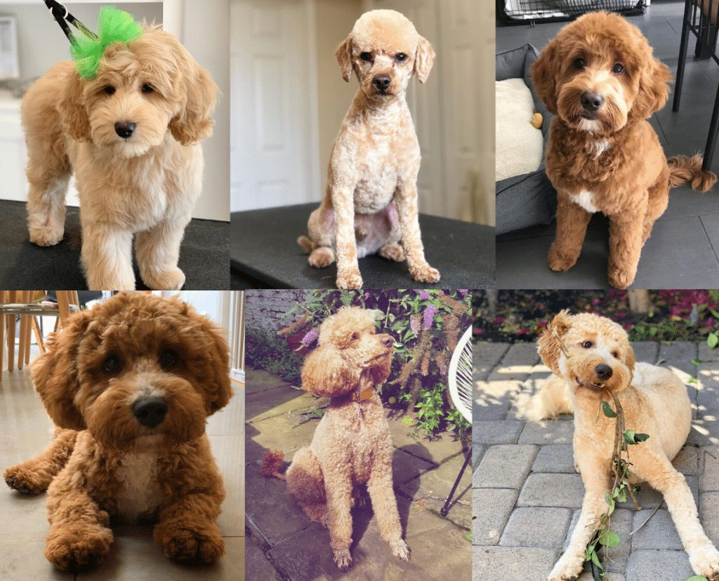 Best Labradoodle Haircuts picture