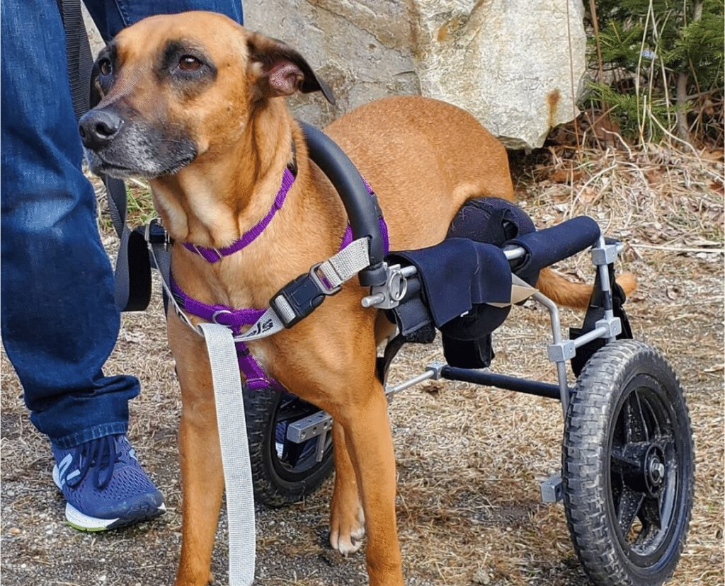 Dog in wheel chair