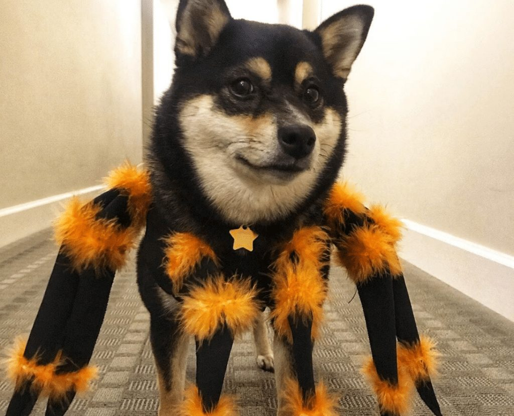 Spider Costume for dog picture
