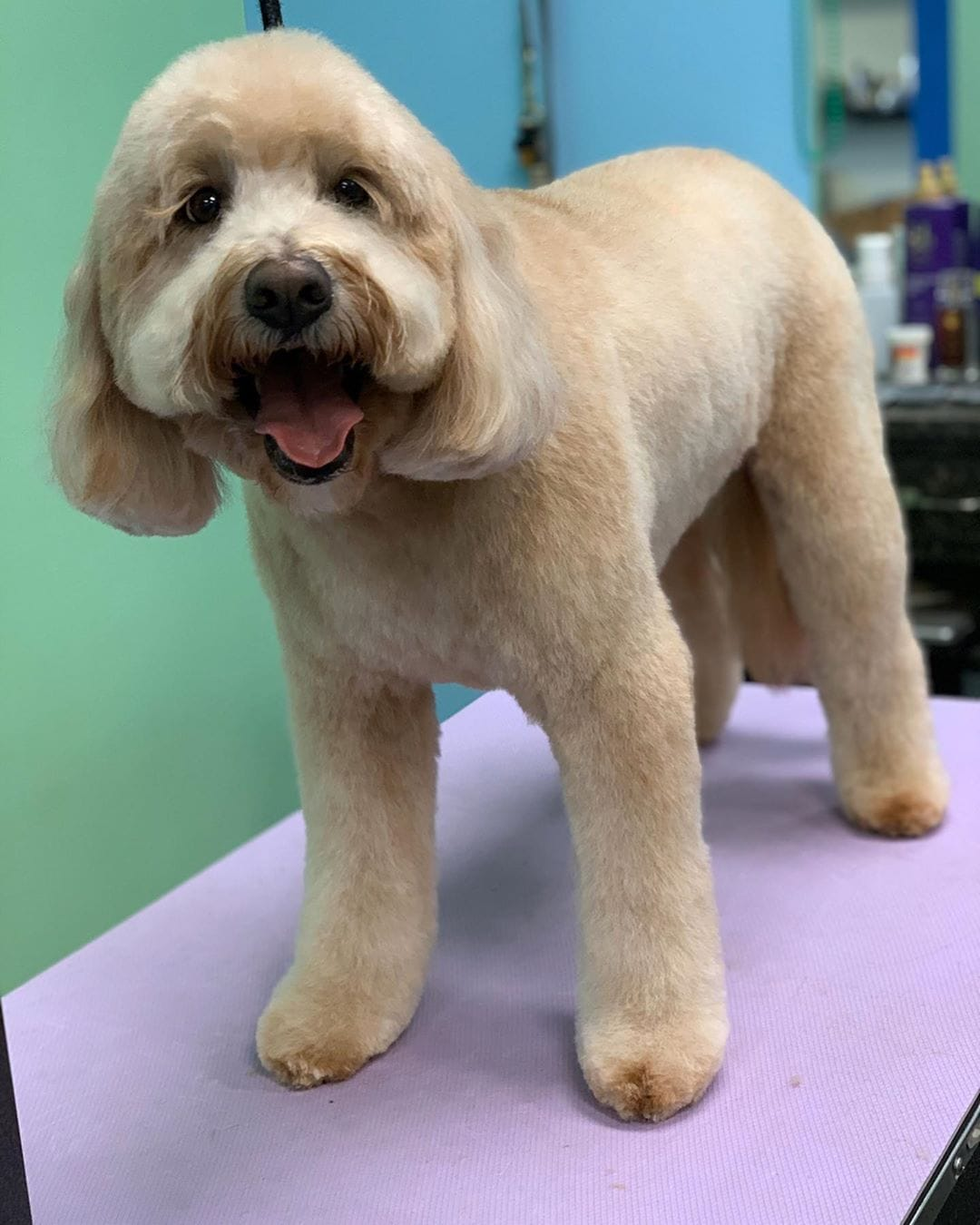 Best Labradoodle Haircuts Puppy Cut Teddy Bear Cut Etc We Love Doodles