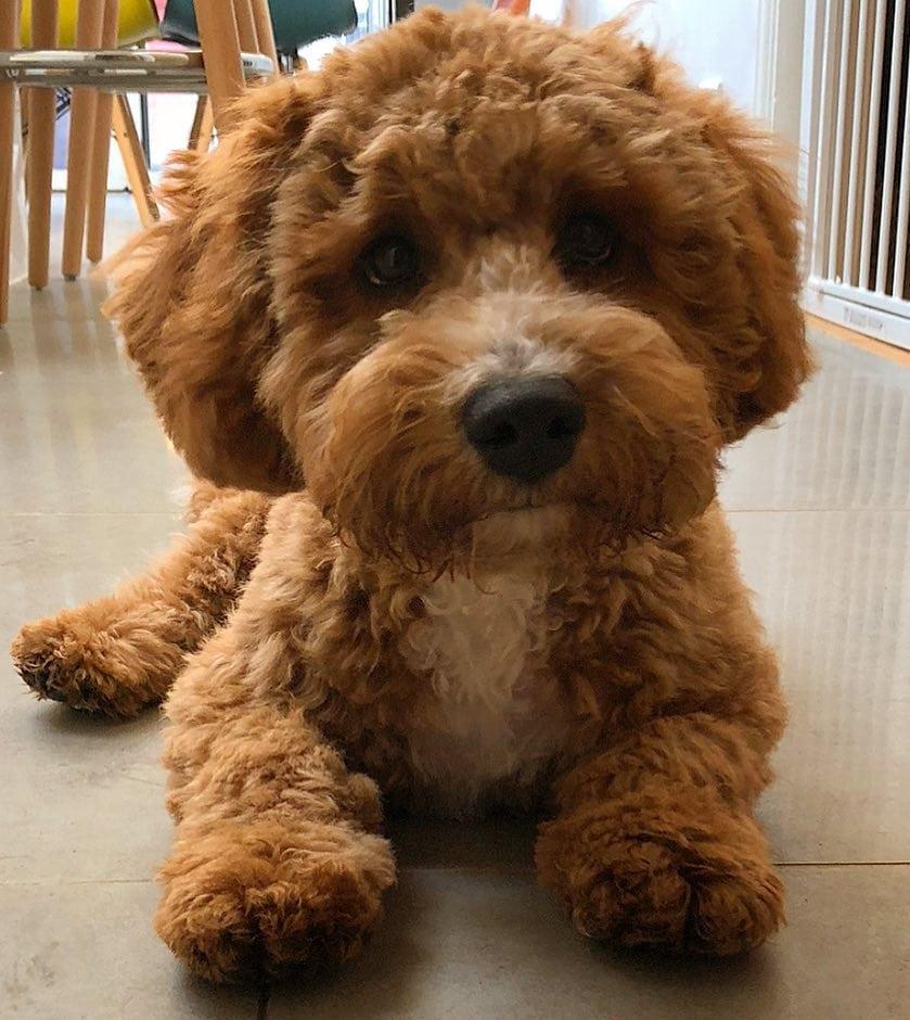 labradoodle teddy bear cut